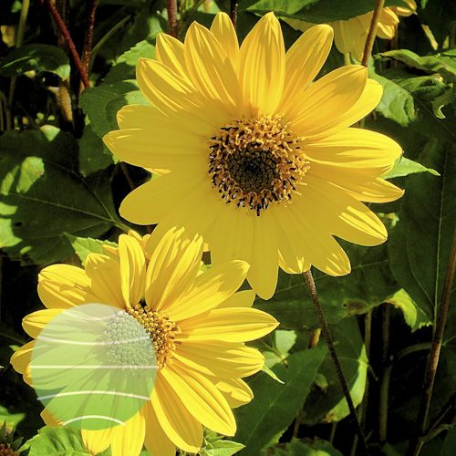 Helianthus Flying Saucers