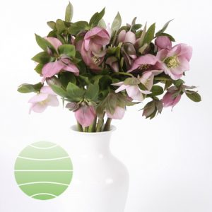 Helleborus orientalis Light Pink Up Star