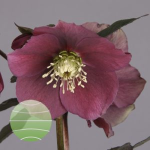 Helleborus orientalis Red Up Star