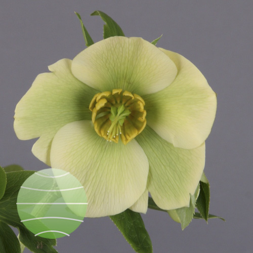Helleborus orientalis Yellow Up Star