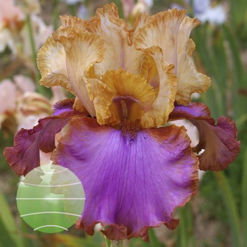 Iris Au Sommet