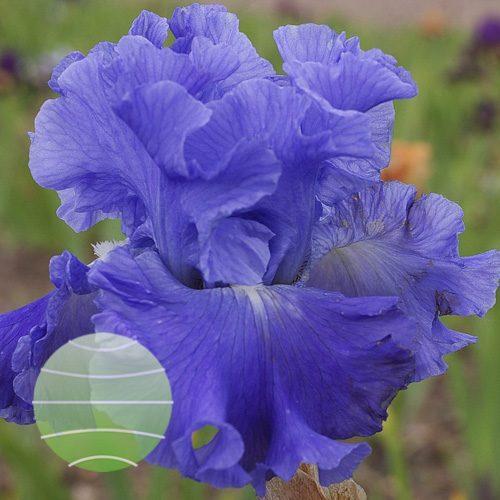 Iris Metolius Blues