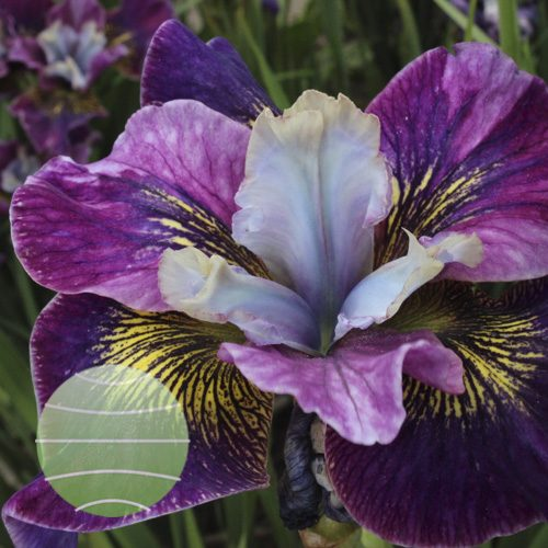 Iris s Peacock Butterfly Charming Billy