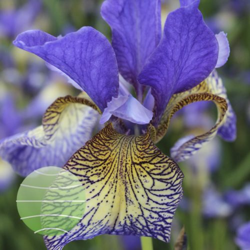 Iris s Peacock Butterfly Pennywhistle