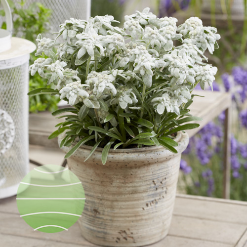 Leontopodium alpinum Silvery Frost