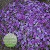 Phlox 'Rocky Road Grape' PPAF 0002 high res