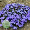 Phlox 'Rocky Road Violet Blue' PPAF 0000 high res