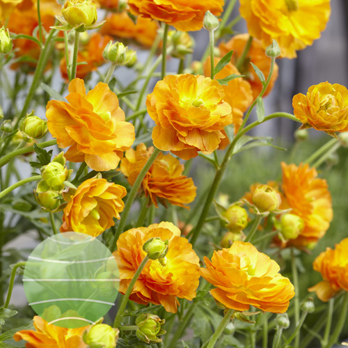 Ranunculus Rococo Orange
