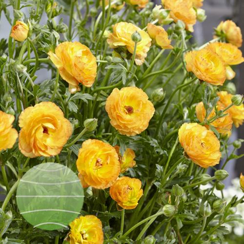 Ranunculus Rococo Peach