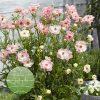Ranunculus Rococo Pink
