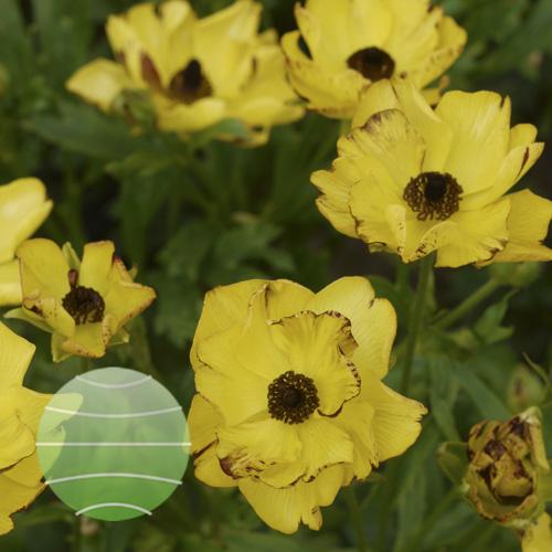 Ranunculus Rococo Yellow