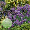 Allium 'Medusa's Hair' PP28701 0001 high res