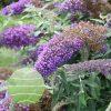 Buddleia 'Violet Cascade' PPAF 0001 high res