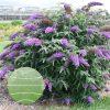 Buddleia 'Violet Cascade' PPAF 0002 high res