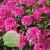 Echinacea p Blackberry Truffle 20160805-2